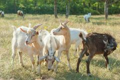 Goats on a summer pasture Stock Photos