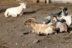 Goats sunbathing Stock Photography