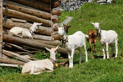 Goats in switzerland stock images
