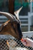 Goats in Thailand national park. Hand with grass feed and give grass to goats royalty free stock image