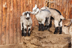 The goats Stock Photo