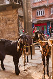 Goats to be slaughtered in Durbar Square, Kathmandu, Nepal. Goats to be slaughtered as the Nepalese people celebrate the festival of Dashain in Durbar Square Stock Image