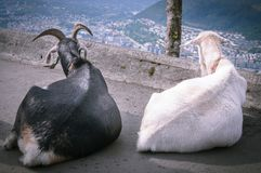 Goats on top of mount Floyen. Bergen stock photos