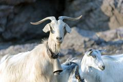 Goats in the rocks Royalty Free Stock Images