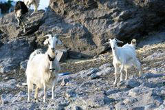 Goats in the rocks Royalty Free Stock Image