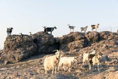 Goats in the rocks Royalty Free Stock Photo