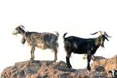 Goats in the rocks Stock Images