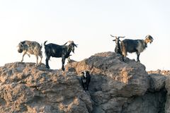 Goats in the rocks Stock Photography