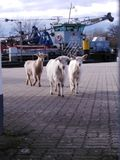 Goats on tour royalty free stock images