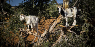 Goats on the tree. A couple of goats are on a tree in the middle of the countryside on the road to Essaouira from Marrakesh in Morocco Stock Image