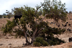Goats in a tree. So goats graze in Morocco. It climbs trees and devour the fruits Argan stock photography