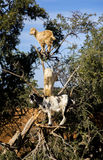 Goats on the tree. Goats on trees in the middle of the countryside on the road from Marrakesh to Essaouira, taken in 2017 Royalty Free Stock Photos