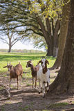 Goats in treeline Royalty Free Stock Photos