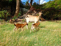 Goats on the tropical island of bequia. A ewe and her two babies as seen on a farm in the caribbean stock images