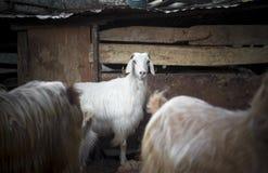 Goats. Turkey Royalty Free Stock Photography