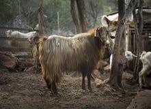 Goats. Turkey Stock Image