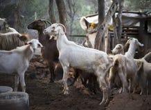 Goats. Turkey Stock Photos