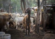 Goats. Turkey Stock Images