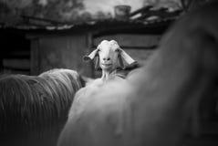 Goats. Turkey Royalty Free Stock Photo