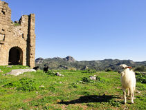 Goats of Turkey. At the ruins of Aspendos Royalty Free Stock Images
