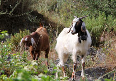 Goats in turkish village Stock Images