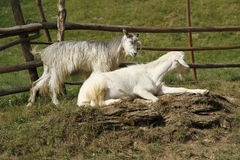 Goats. Two goats standing alone on the vegetation Royalty Free Stock Photos