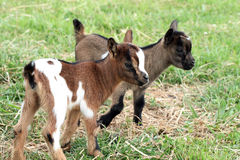 Goats. Two young goats in a meadow Royalty Free Stock Photos