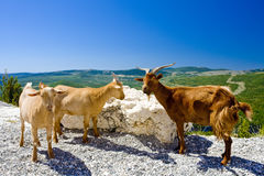 Goats at Verdon Gorge Stock Image