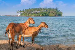 Goats. Waiting for The Ship royalty free stock photography