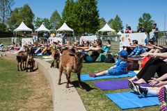 Goats Walk Among People Stretching At Goat Yoga Event stock photography