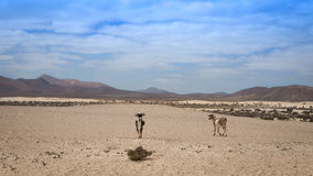 Goats walking in the desert. Two goats walking in the empty and desolate desert Stock Image
