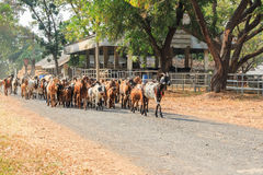 Goats walking in the farm. Goats walking on the road in the farm royalty free stock images