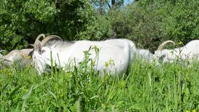 Goats walking in the meadow among the green grass you chew on the flowers to giv