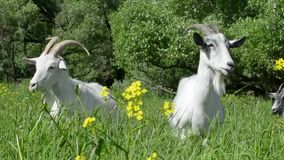 Goats walking in the meadow among the green grass you chew on the flowers to give a lot of milk