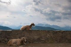 Goats on a wall, Switzerland Stock Photo