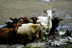 Goats on the way 2 Stock Photo