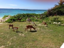 Goats Weeds Bush Caribbean sea Stock Photos