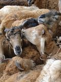 Goats at the weekly market Royalty Free Stock Photo