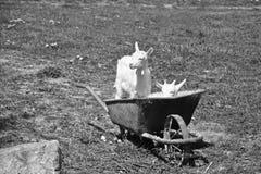 Goats in the wheelbarrow Stock Photo