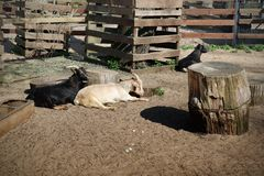 Goats white and black resting lying in a pen on the farm royalty free stock photos