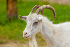 Goats. White goat on a green background looking to the side Royalty Free Stock Photos