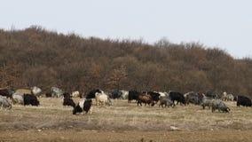 Goats on wild. Goats of Anatolia on feeding Stock Images