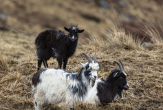 Goats at the Wild Goat Park in Galloway Forest Park. Goats at the Wild Goat Park in Galloway Forest Park on Scotland royalty free stock images
