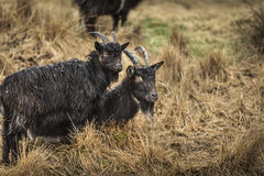 Goats at the Wild Goat Park in Galloway Forest Park. Royalty Free Stock Images