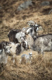 Goats at the Wild Goat Park in Galloway Forest Park. Royalty Free Stock Photo