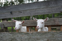 Goats in wooden stockyard Stock Image