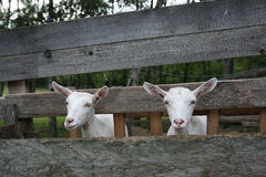 Goats in wooden stockyard Royalty Free Stock Photography