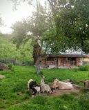 Goats in yard Royalty Free Stock Photography