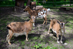 Goats and young goat Royalty Free Stock Photos