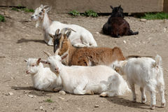 Goats and young goat Stock Photos